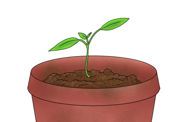 Seedling in a pot