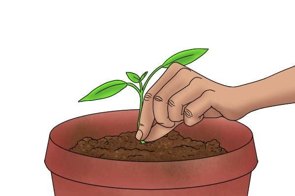 Seedling in a new pot after transplanting