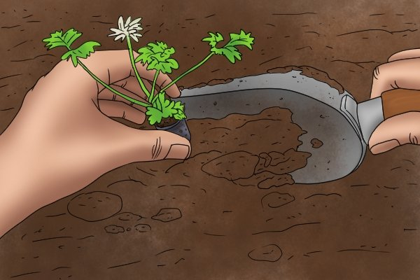 Planting a seedling with transplanting trowel into the garden
