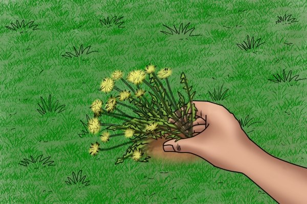 holding a dandelion stem and leaves to show the base