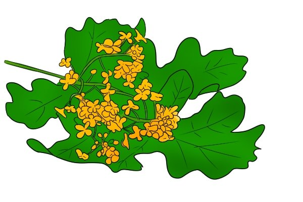 Oak leaf and flower, hardwood, timber