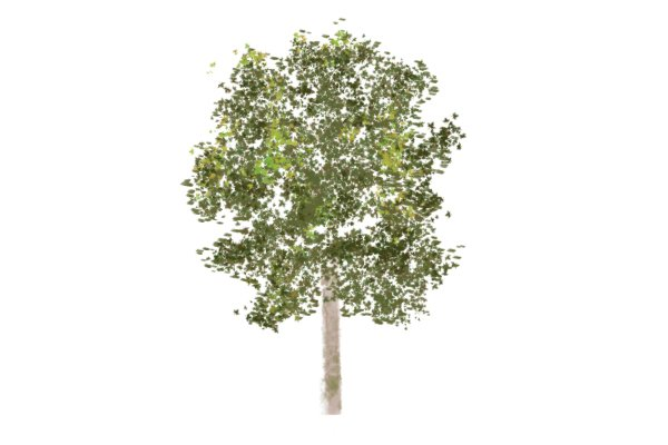 Image of a birch tree, which can be tapped for syrup using an auger bit and spile