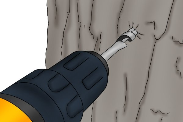 A DIYer boring into the trunk of a maple tree with an auger so that the sap can be collected and boiled to create maple syrup