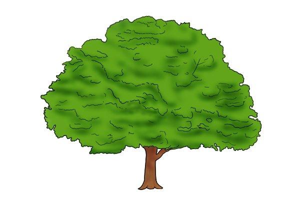 Oak, a type of tough hardwood