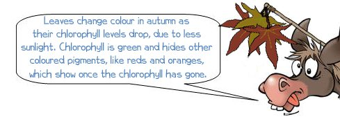 "Wonkee Donkee says ""Leaves change colour in autumn as  their chlorophyll levels drop, due to less  sunlight. Chlorophyll is green and hides other  coloured pigments, like reds and oranges,  which show once the chlorophyll has gone."""