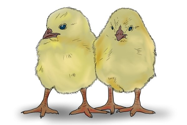 Two yellow chicks
