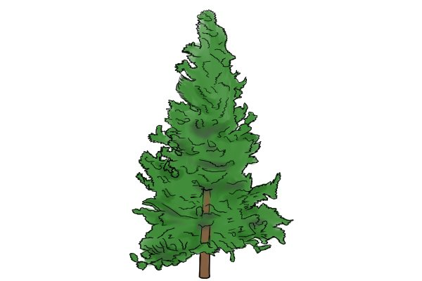 Image of an evergreen tree to illustrate where the soft woods that are used to create wooden dowels come from