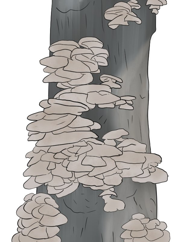 Image of edible fungi that have grown on a log as a result of inoculated dowels having been inserted into it